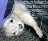 Ferret Haven by the Sea - Adoption Application - About Ferrets